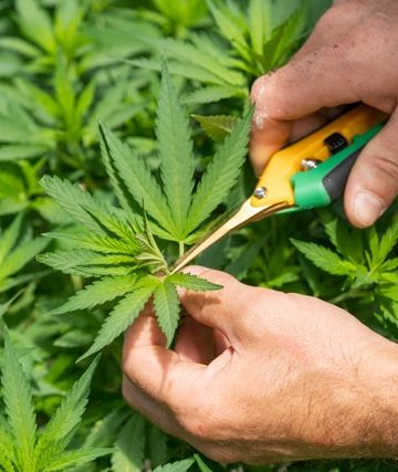 Marijuana Growth Stages